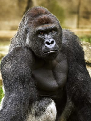 Harambe, a western lowland gorilla shown June 20, 2015, was fatally shot Saturday, May 28, 2016, to protect a 3-year-old boy who had entered its Cincinnati Zoo and Botanical Garden exhibit.