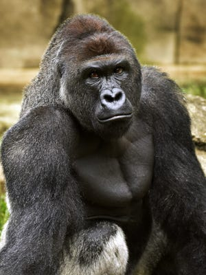 This June 20, 2015, file photo provided by the Cincinnati Zoo and Botanical Garden shows Harambe, a western lowland gorilla, who was fatally shot Saturday to protect a 3-year-old boy who had entered its exhibit. In some parts of Africa, tourists and researchers routinely trek into the undergrowth to see gorillas in their natural habitat where there are no barriers or enclosures.