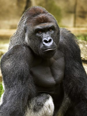 This June 20, 2015 file photo provided by the Cincinnati Zoo and Botanical Garden shows Harambe, a western lowland gorilla, who was fatally shot May 28, to protect a 3-year-old boy who had entered its exhibit. When the 400-pound gorilla grabbed the 3-year-old boy, the sharpshooter who killed the ape wasn't police but a specially trained zoo staffer on one of the many dangerous-animal emergency squads at animal parks around the country.