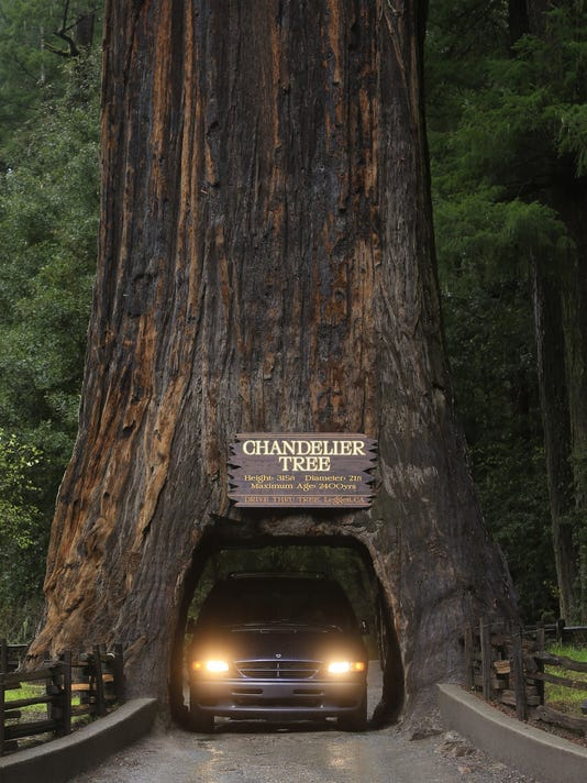 Travel Ust Calif Redwoods 1 La Jpg Motorists Drive Through The Famous Chandelier Tree