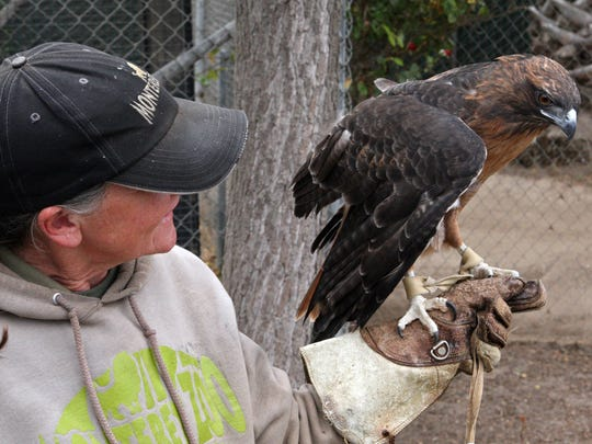 Although no longer able to fly, Moose is a perfectly healthy and rather large size red-tailed hawk.