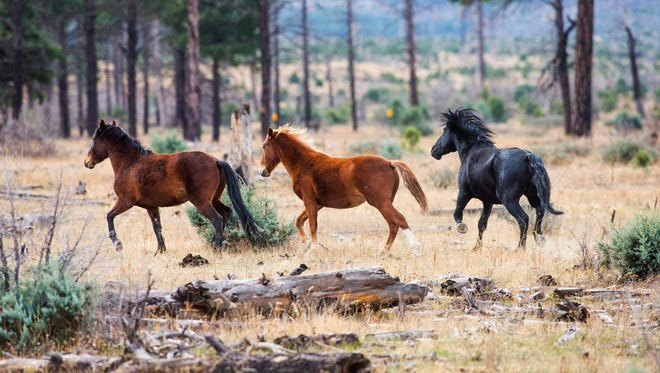 Wild mustangs run in the Apache-Sitgreaves National Forest near Overgaard on Friday, November 14, 2014.  Several hundred horses live wild in the area and the Forest Service is looking at plans to manage the horses, including their possible removal.