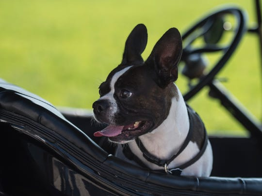 A dog named General Sam Houson sits in a Ford Model T at a rest stop in rural Rush County during a tour of eastern Indiana's country roads on July 10, 2018.