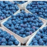 The main varieties of blueberries grown in New Jersey include Blue Crop and Duke.