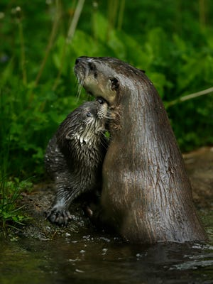 An otter nestles with its pup inside the otter exhibit at the NEW Zoo in Suamico on Friday, May 27, 2016.