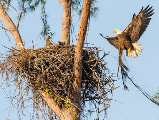 The parents add to the nest before Paleo's untimely