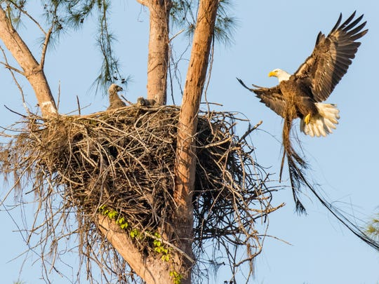 The parents add to the nest before Paleo's untimely death. The two eaglets hatched by Marco eagles Paleo and Calusa have been relocated to the von Arx Wildlife Hospital at the Conservancy in Naples after Paleo, the father, was killed by an electric wire. Photo © copyright by Jean Hall