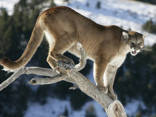 Adult male cougars can measure up to eight feet in length and weigh 150 to 200 pounds. Adult females usually measure up to seven feet and average 90–110 pounds.
