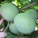 What is a pawpaw? What to know about the tropical-like fruit you can find in Ohio