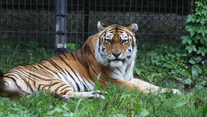 Goldy, an 18 year-old female Amur tiger who has been at Blank Park Zoo since 1999, has died.