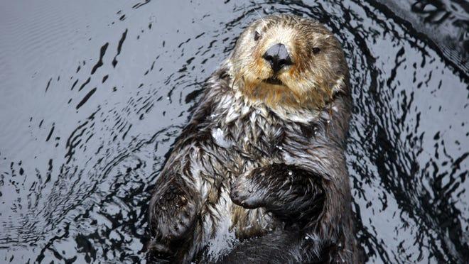 A California sea otter swims in the Monterey Bay Aquarium's sea otter exhibit.