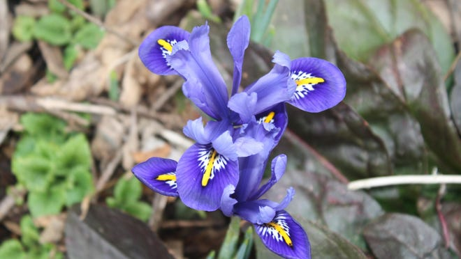 Iris reticulata are 3-inch-wide purple blooms that show up in late winter and early spring.