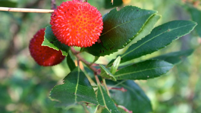 The strawberry tree fruit is edible with gritty flesh and mild, kiwi-like flavor.