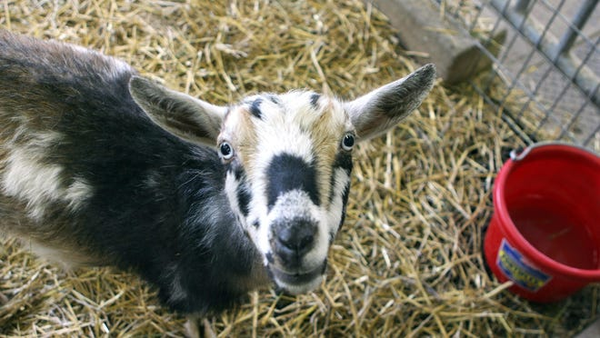 A Novi resident told police that a pit bull killed her goat.