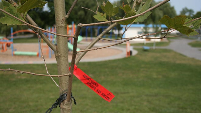 A red maple tree, planted in memory of Dr. Saul Finer, overlooks the playground in Roscoe Conkling Park in Utica on Tuesday, Sept. 15, 2020.