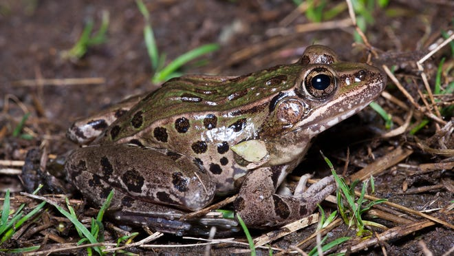 The Atlantic Coast leopard frog was discovered by a research team that included a New Jersey Department of Environmental Protection zoologist. Its unique mating call helped in its identification.