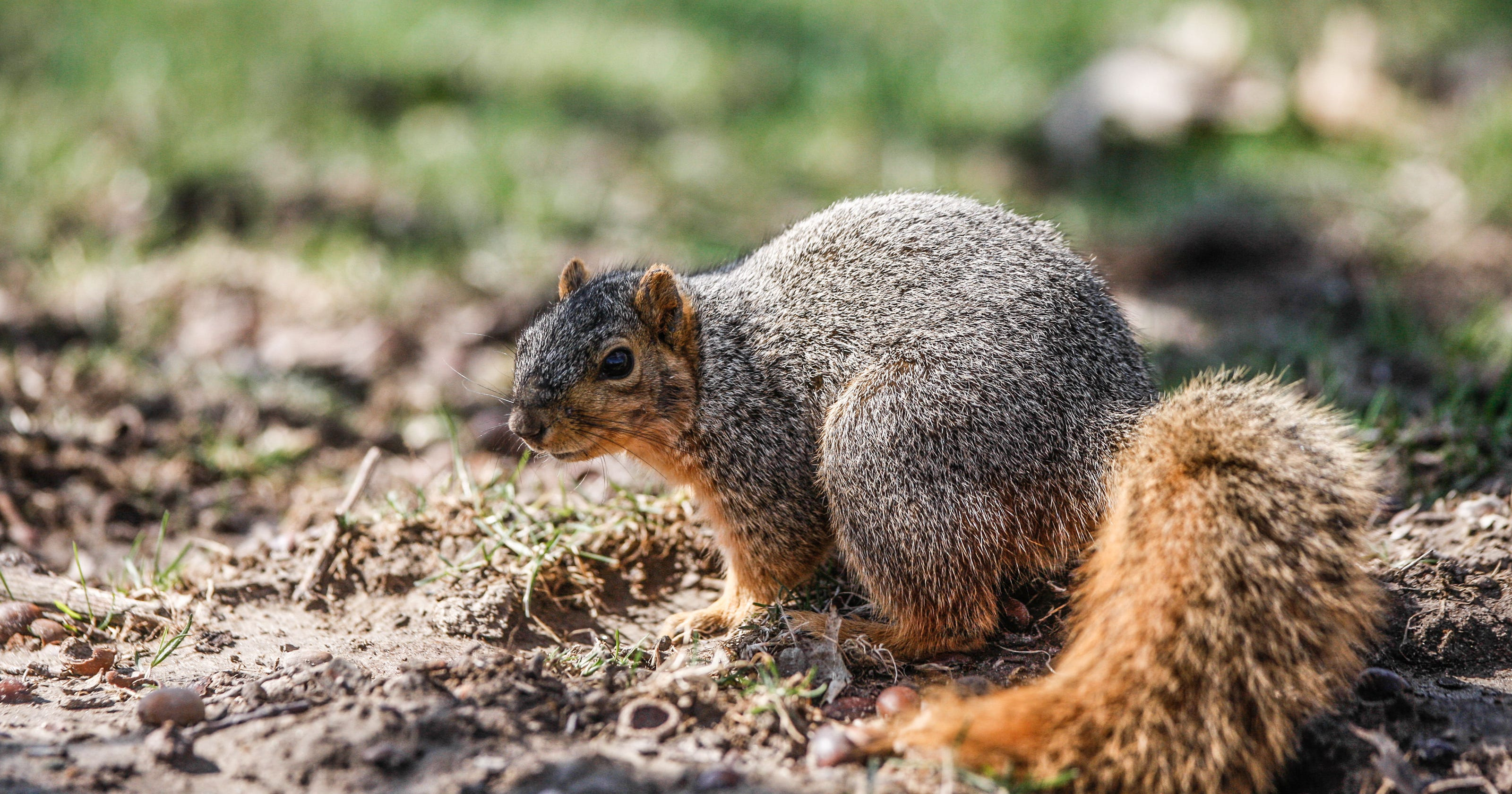 Hoosiers, your squirrel pelts are finally worth something