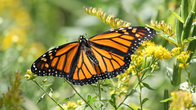 A monarch feeds on stiff goldenrod. While monarchs feed on a number of plants, their survival is tied to common milkweed. The U.S. Fish & Wildlife Service in August 2014 received a petition requesting the monarch be listed as a federally threatened species. The agency deemed a review was warranted; a 60-day comment period closed early this month. By August 2015, FWS will determine if a listing is warranted.