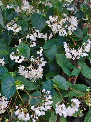 """A favorite of Florida gardeners, Fragrant Begonia has been cultivated for decades and is a beloved """"pass-along"""" plant. It blooms throughout the winter and into spring in this area and is easy to grow if given a bit of shade and regular applications of water."""