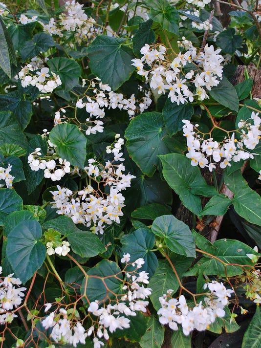 Begonia-odorata-March-11--yard-doc.JPG