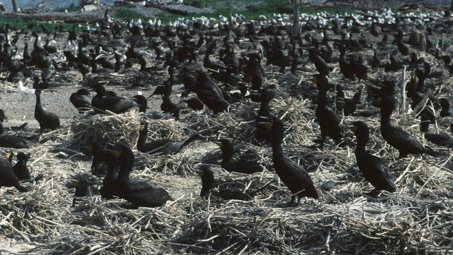 Cormorants nesting on state-owned Young Island when it was a nesting site for thousands of cormorants in 1999.