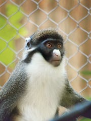 A typical spot-nosed guenon.