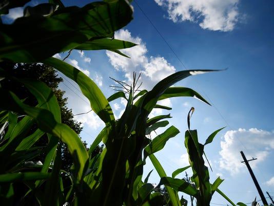 4-YDR-KP-corn-072916