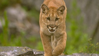 Mountain lion photo from the California Department of Fish and Wildlife.