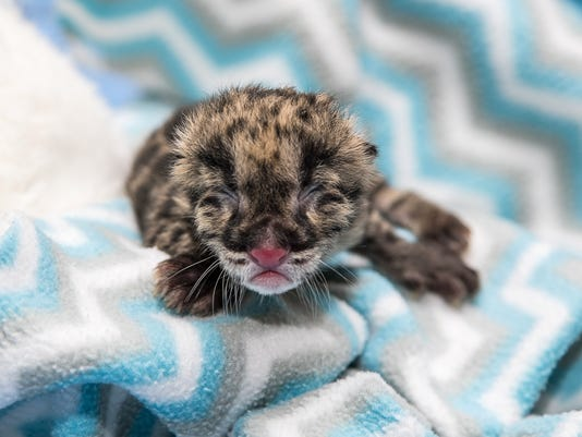clouded leopard cub born at nashville zoo is a one of a kind