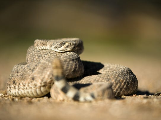 Learn what to do if you encounter a venomous animal in Arizona March 10 at the McDowell Mountain Regional Park.
