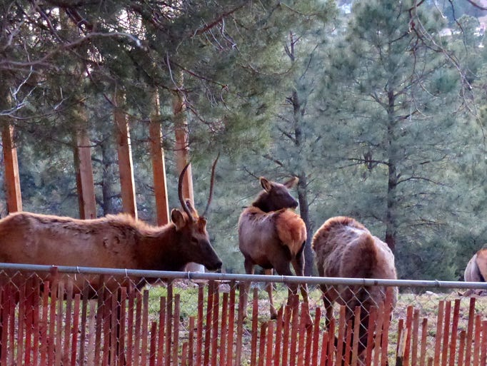 A young male elk and several females nibble on wild