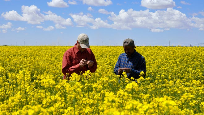 'Can canola be grazed' and 'what canola varieties are good for the region' are some of the topics to be discussed in the field day held May 10 at the Agricultural Science Center at Clovis.