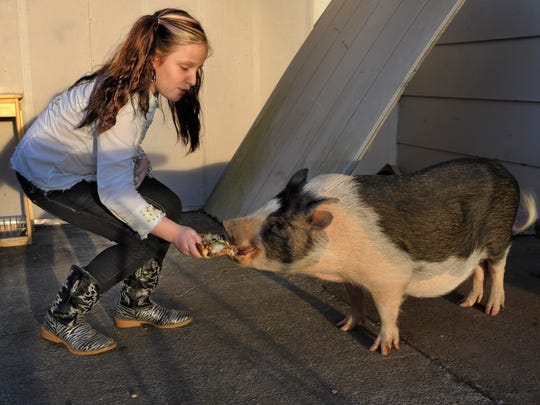 Emi Sunshine Hamilton, 10, feeds pizza to Pig, Pig on Monday, Nov. 10, 2014, in Madisonville, Tenn. She also has turkeys and a rooster.