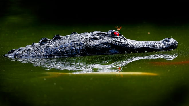 One of two plastic alligator heads floats on Lake Biwa at the Memphis Botanic Garden Thursday morning. The fake heads are used to scare off the aggressive geese that have aggravated visitors.
