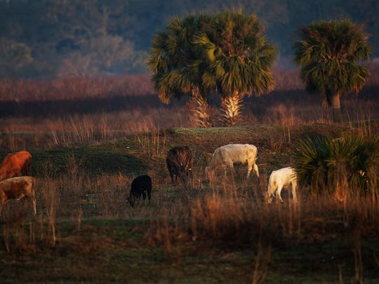 Cattle graze along the Kissimmee River in Avon Park in early February.