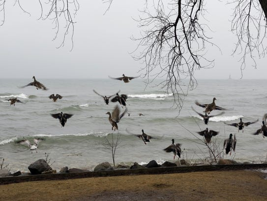 Ducks fly away when people got too close near North