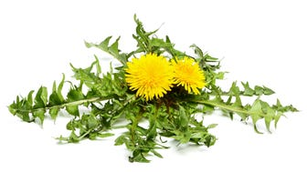Dandelions would be a more fitting state flower than violets.