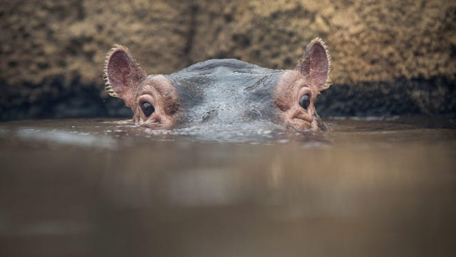Fiona, nearly one, peaks out of the water in Hippo Cove at the Cincinnati Zoo and Botanical Garden.