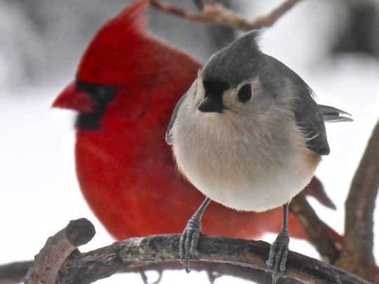 Tufted titmouse and male northern cardinal by Susan McTigue of Closter.