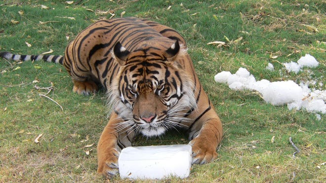 A tiger plays with a block of ice during the annual Winter in July event at the Phoenix Zoo.