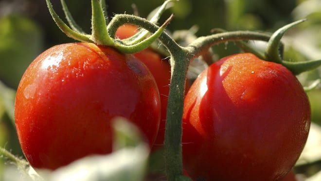 'Legend' tomato, developed at the OSU vegetable farm near Corvallis, is know for being disease resistant.