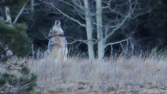 Photo of a gray wolf spotted at the Grand Canyon