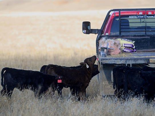 Calves at the Darlington Midway Ranch inspect the Darlington's
