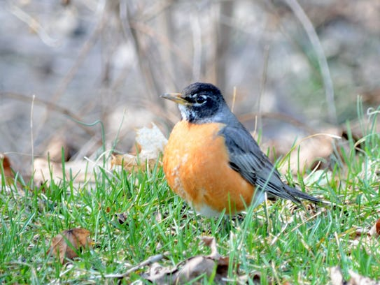 Most of us consider the Robin to be a harbinger of