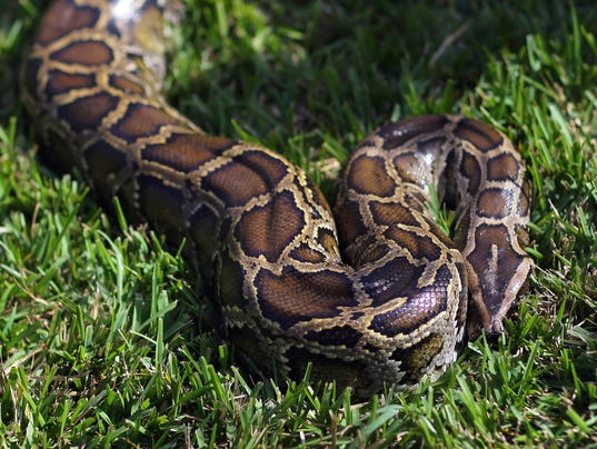 Study: Here's how snakes lost their legs
