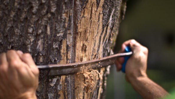 Since 2010, 46 state counties have fallen prey to the Emerald Ash Borer, and for four years, Middle Tennessee had eluded quarantine.