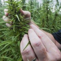 Cuomo proposes New York hemp expansion