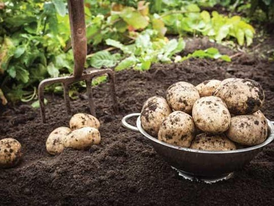 There are many ways to grow potatoes. Most gardeners prefer planting in trenches or furrows that are spaced about 3 feet apart, but they can also be grown in individual hills or mounds, whichever works best for your garden site.