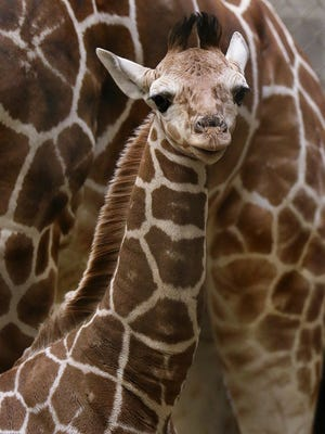 Born on Jan. 9, the calf stood about 6 feet and weighed 158 pounds. He doesn't have a name yet.