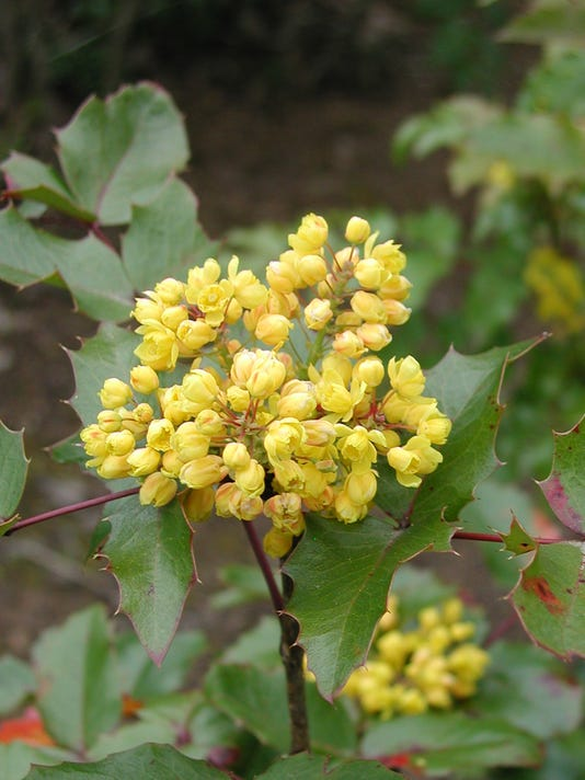 636238017888759186-SALBrd-01-15-2016-Statesman-1-D005--2016-01-13-IMG-Oregon-grape-1-1-7ND4GERM-L742065723-IMG-Oregon-grape-1-1-7ND4GERM.jpg